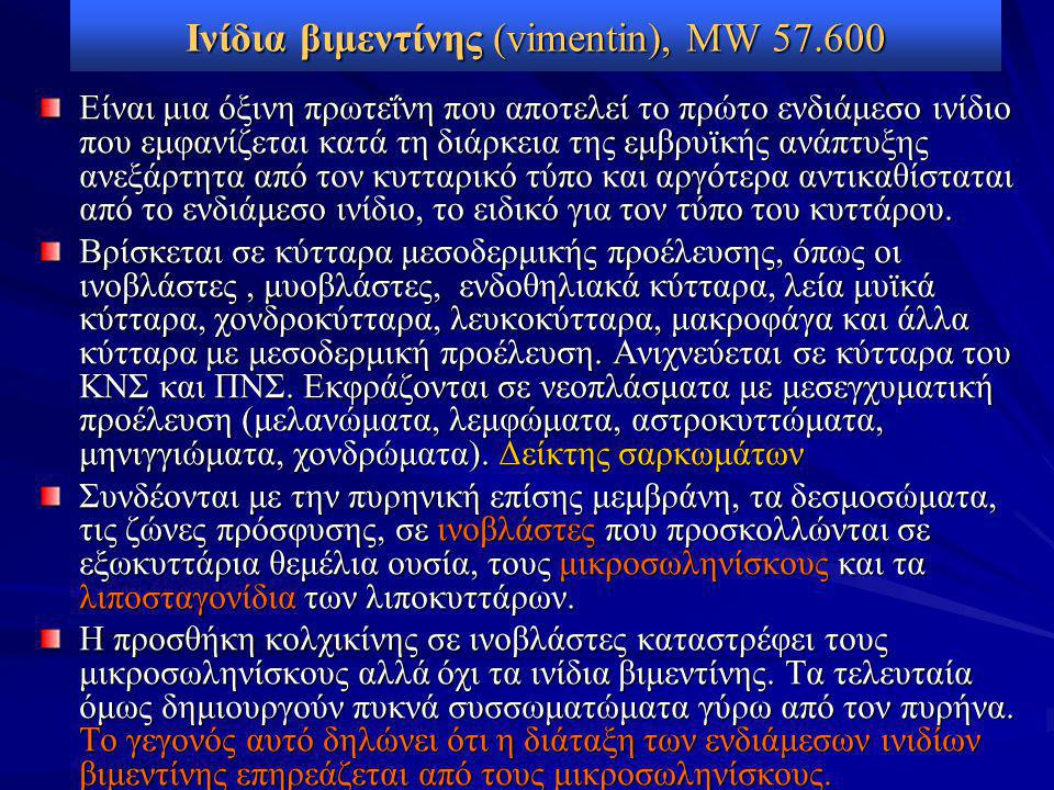 Ινίδια βιμεντίνης (vimentin), MW 57.600