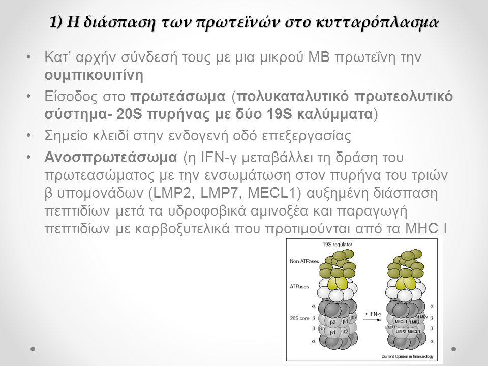 1) Η διάσπαση των πρωτεϊνών στο κυτταρόπλασμα