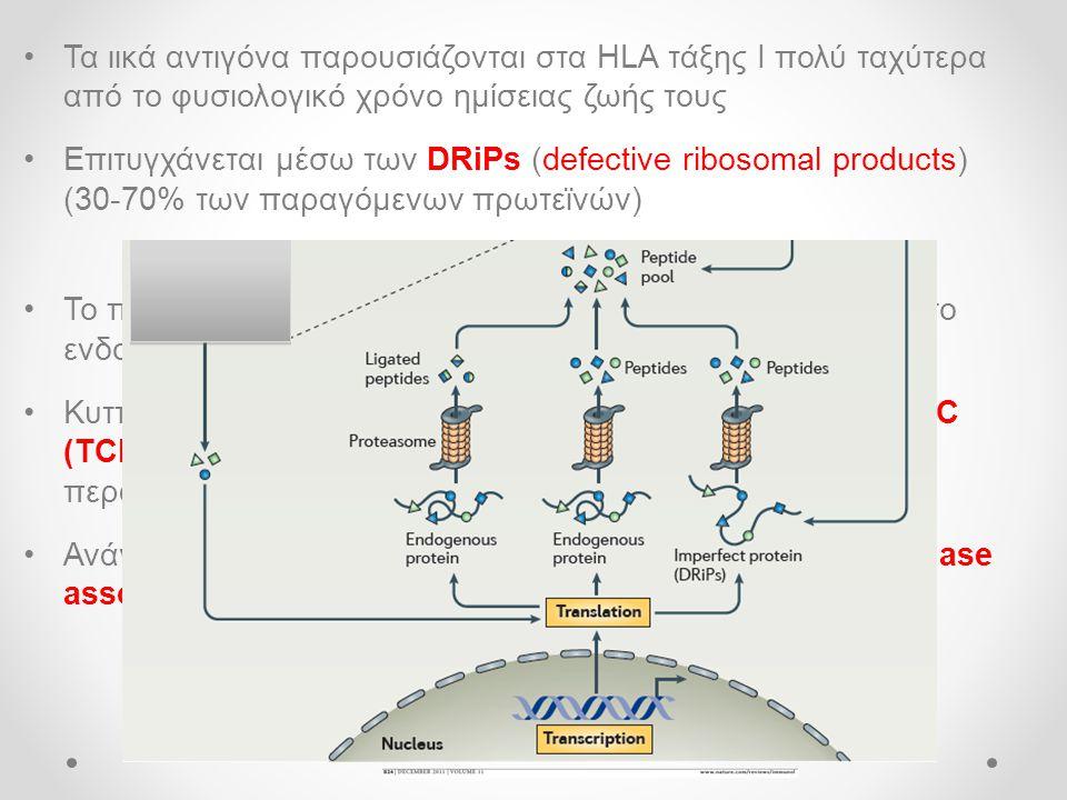 Τα ιικά αντιγόνα παρουσιάζονται στα HLA τάξης Ι πολύ ταχύτερα από το φυσιολογικό χρόνο ημίσειας ζωής τους