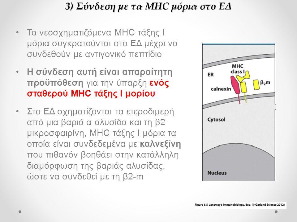 3) Σύνδεση με τα MHC μόρια στο ΕΔ