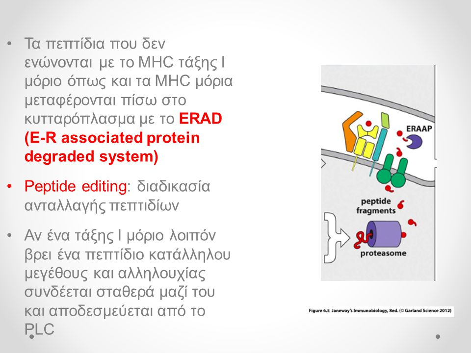 Τα πεπτίδια που δεν ενώνονται με το MHC τάξης Ι μόριο όπως και τα MHC μόρια μεταφέρονται πίσω στο κυτταρόπλασμα με το ERAD (E-R associated protein degraded system)