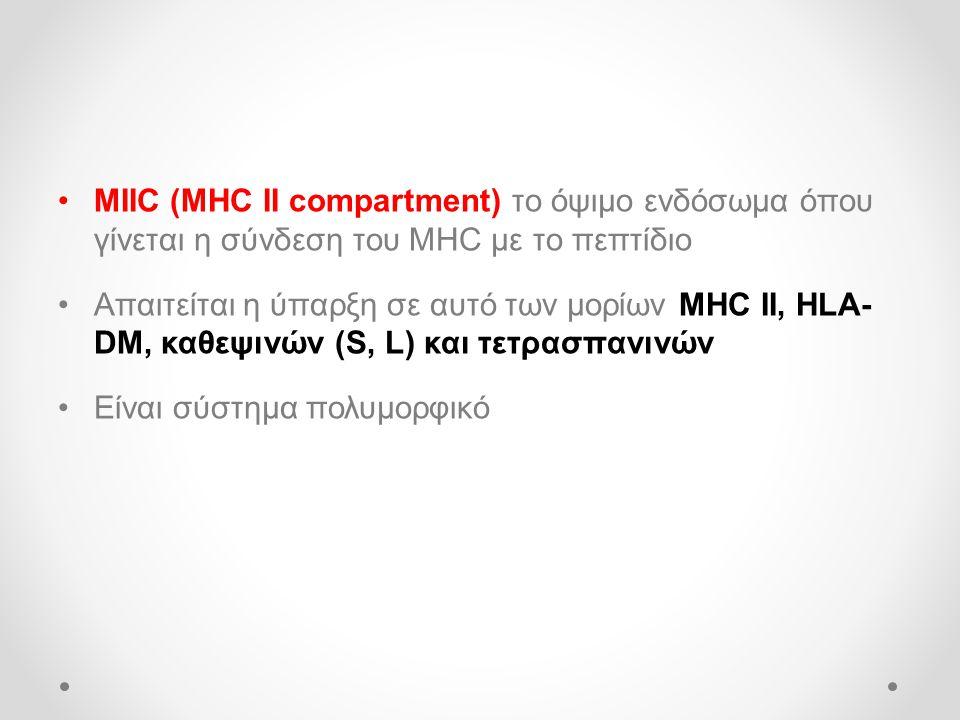 MIIC (MHC II compartment) το όψιμο ενδόσωμα όπου γίνεται η σύνδεση του MHC με το πεπτίδιο