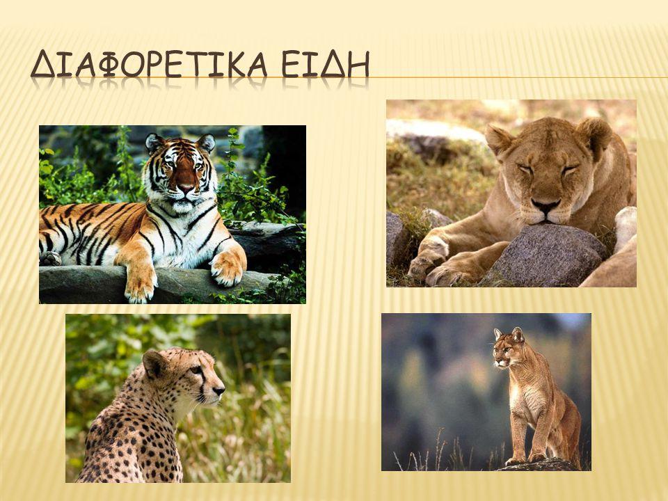 Διαφορετικα ειδη (οικογένεια Felidae) τίγρης, λιοντάρι, τσιτάχ, κούγκαρ.