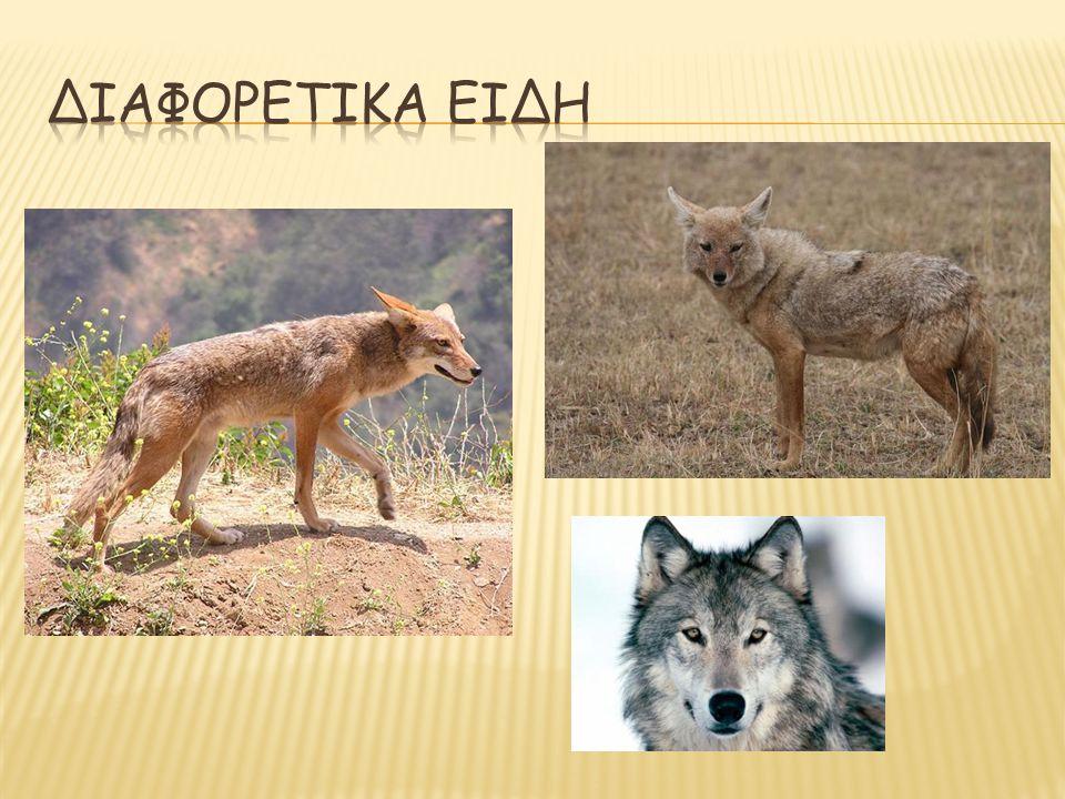 ΔΙΑΦΟΡΕΤΙΚΑ ειδη (οικογένεια Canidae) κογιότ, τσακάλι, λύκος.