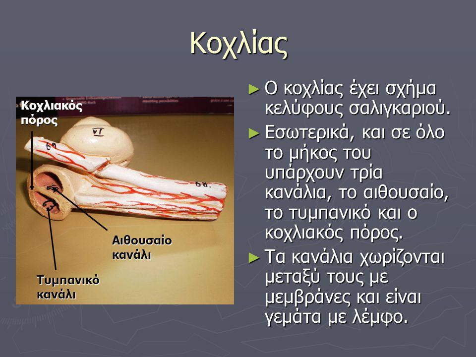 Κοχλίας Ο κοχλίας έχει σχήμα κελύφους σαλιγκαριού.