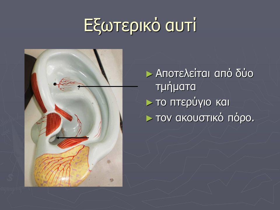Εξωτερικό αυτί Αποτελείται από δύο τμήματα το πτερύγιο και