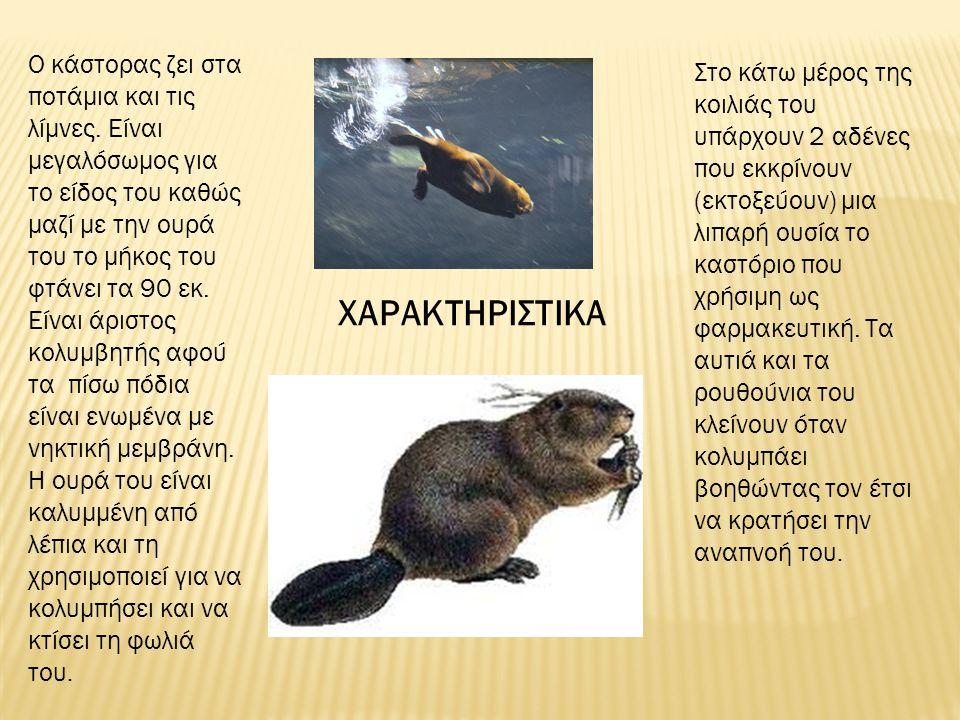 Ο κάστορας ζει στα ποτάμια και τις λίμνες