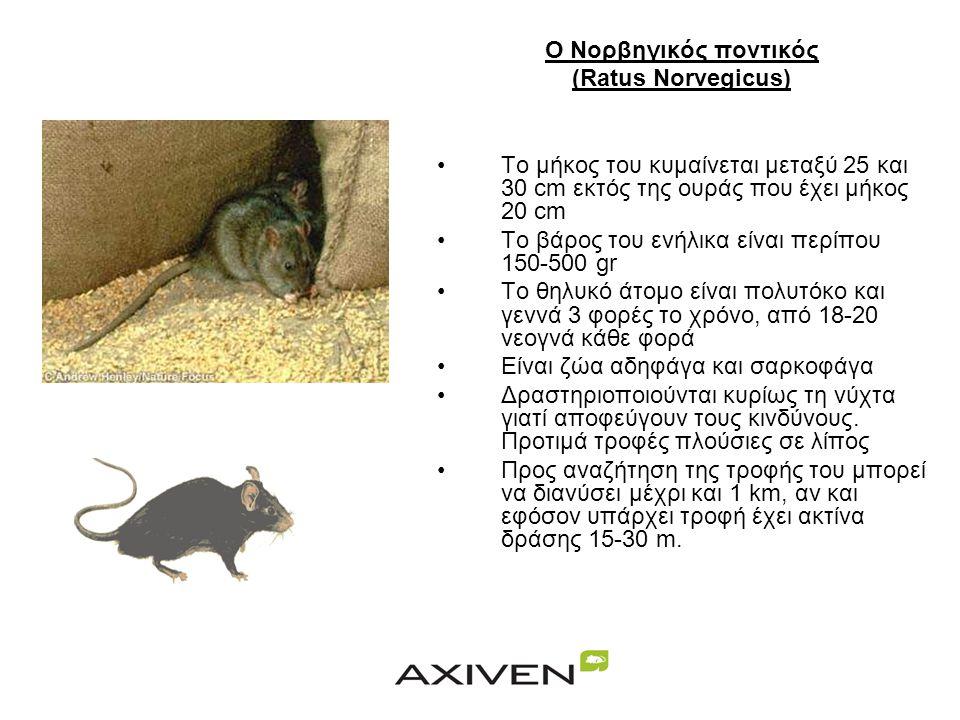 Ο Νορβηγικός ποντικός (Ratus Norvegicus) Το μήκος του κυμαίνεται μεταξύ 25 και 30 cm εκτός της ουράς που έχει μήκος 20 cm.