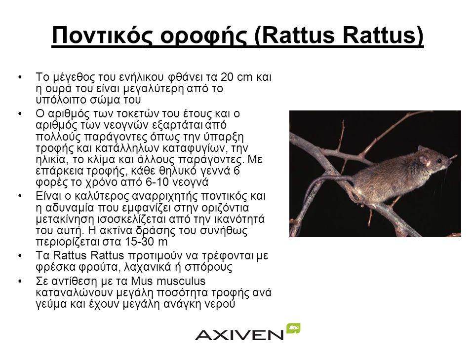 Ποντικός οροφής (Rattus Rattus)