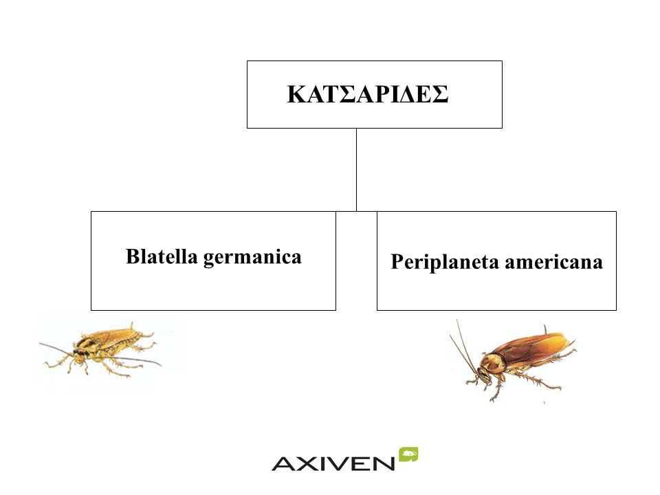 ΚΑΤΣΑΡΙΔΕΣ Periplaneta americana Blatella germanica