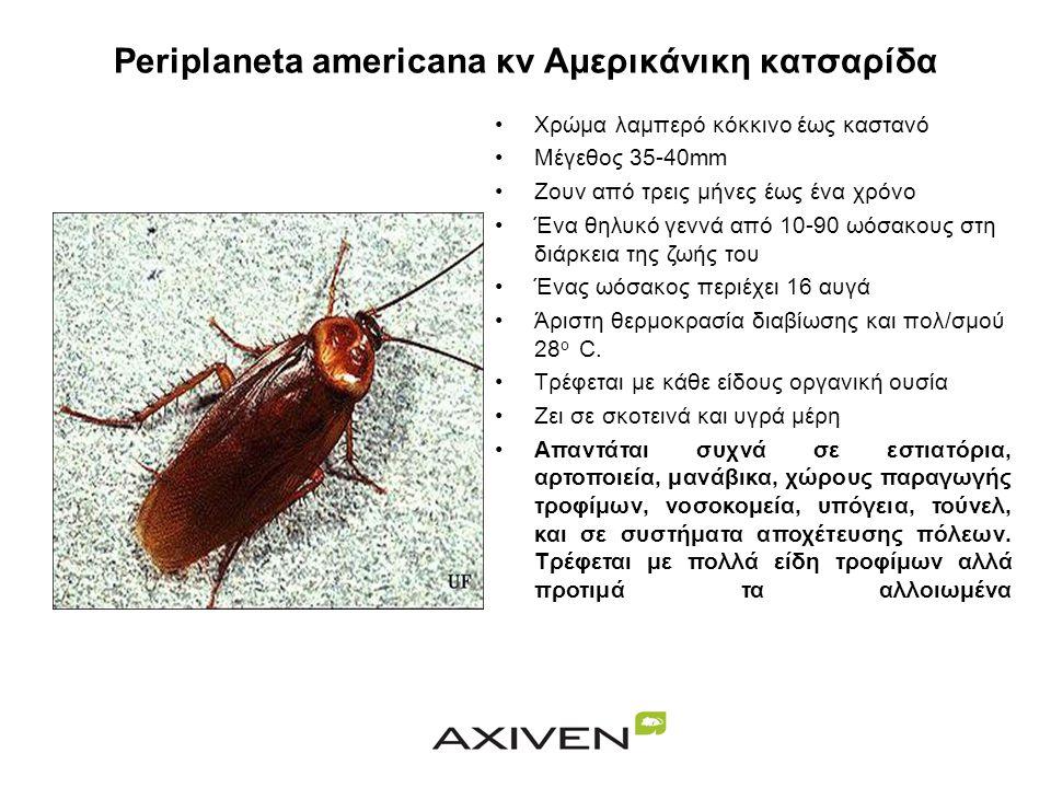 Periplaneta americana κν Αμερικάνικη κατσαρίδα