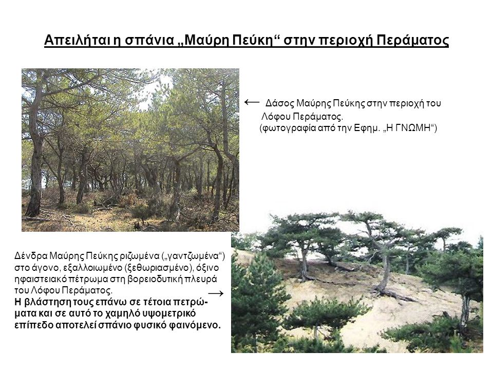 """Απειλήται η σπάνια """"Μαύρη Πεύκη στην περιοχή Περάματος"""