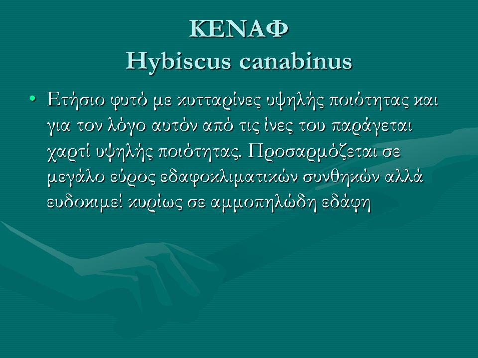 ΚΕΝΑΦ Hybiscus canabinus