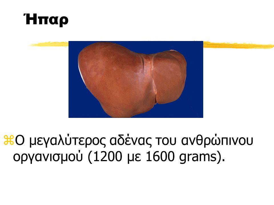 Ήπαρ Ο μεγαλύτερος αδένας του ανθρώπινου οργανισμού (1200 με 1600 grams).