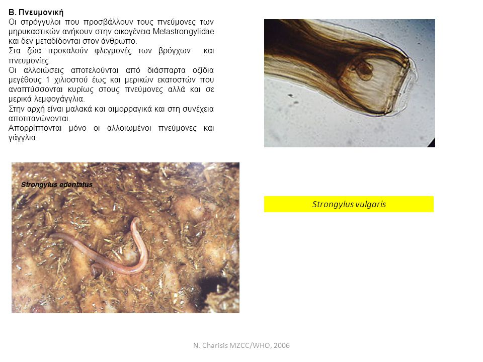 Strongylus vulgaris Β. Πνευμονική