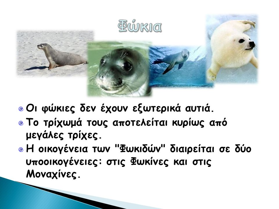 Φώκια Οι φώκιες δεν έχουν εξωτερικά αυτιά.