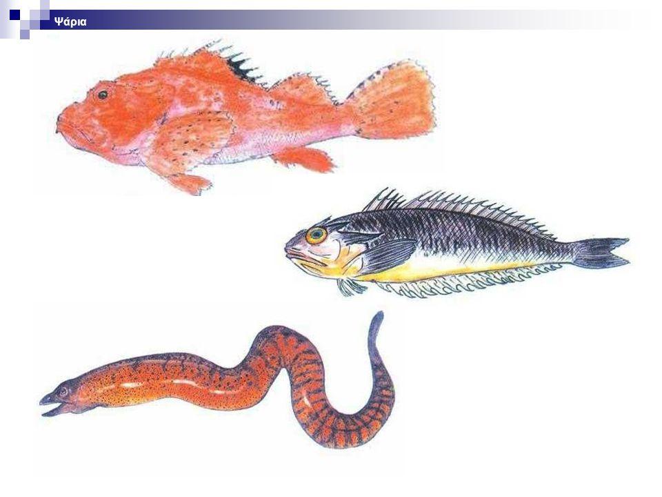 Ψάρια Επεξήγηση διαφάνειας. Φωτογραφία: ψάρια.