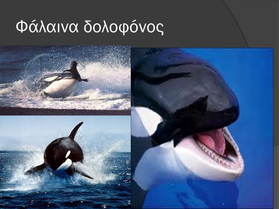 Φάλαινα δολοφόνος