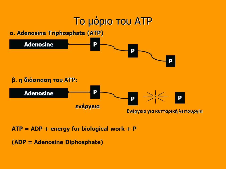 Το μόριο του ATP α. Adenosine Triphosphate (ATP) P Adenosine P P