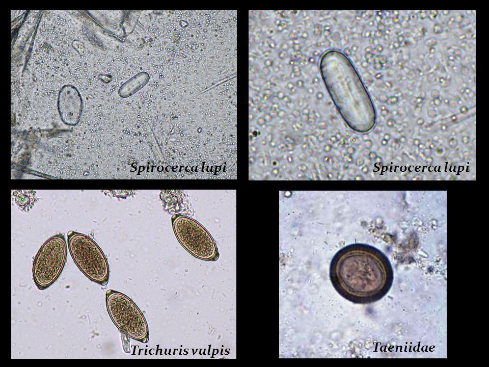 Spirocerca lupi Spirocerca lupi Trichuris vulpis Taeniidae