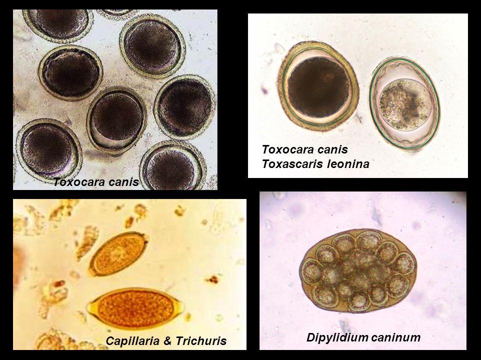 Toxocara canis Toxocara canis Toxascaris leonina Dipylidium caninum Capillaria & Trichuris