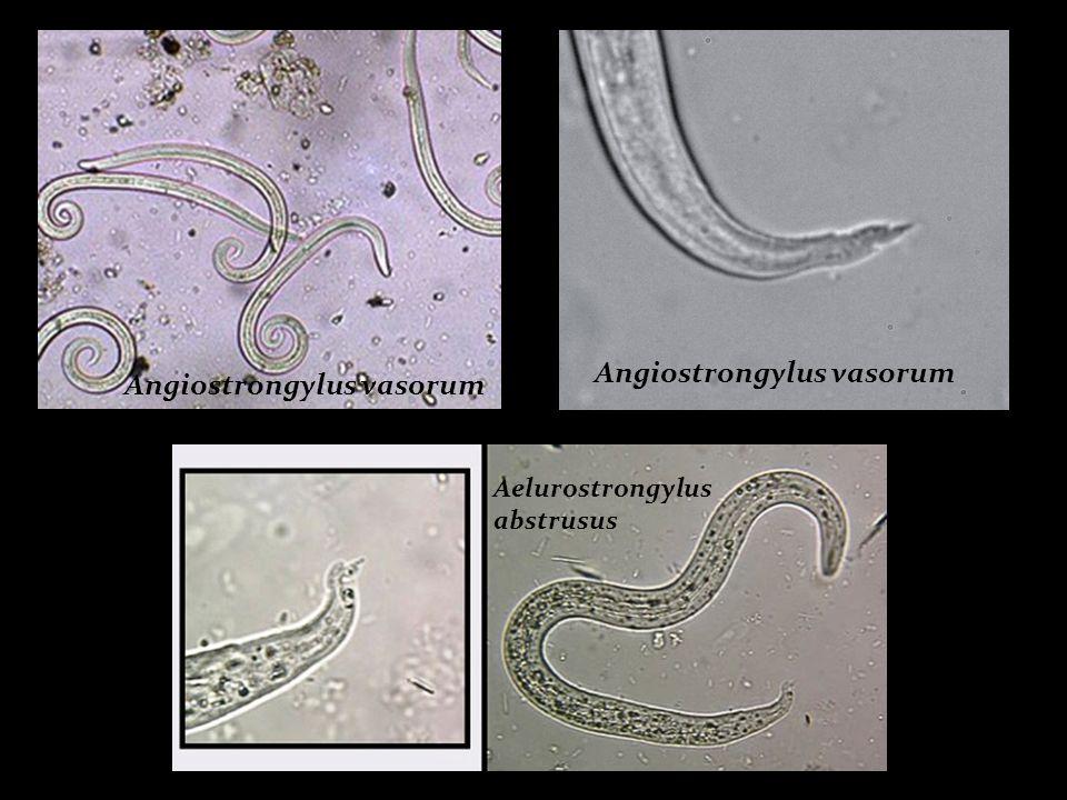 Angiostrongylus vasorum Angiostrongylus vasorum