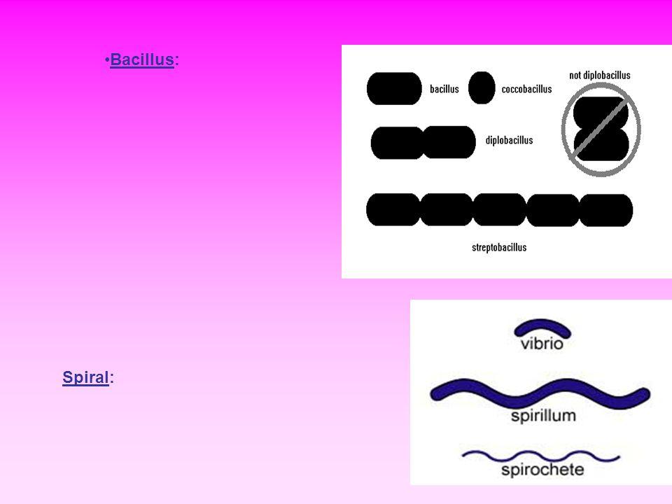 Bacillus: Spiral: