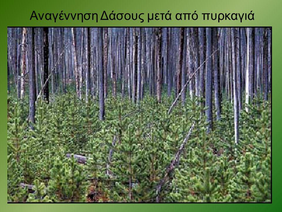 Αναγέννηση Δάσους μετά από πυρκαγιά