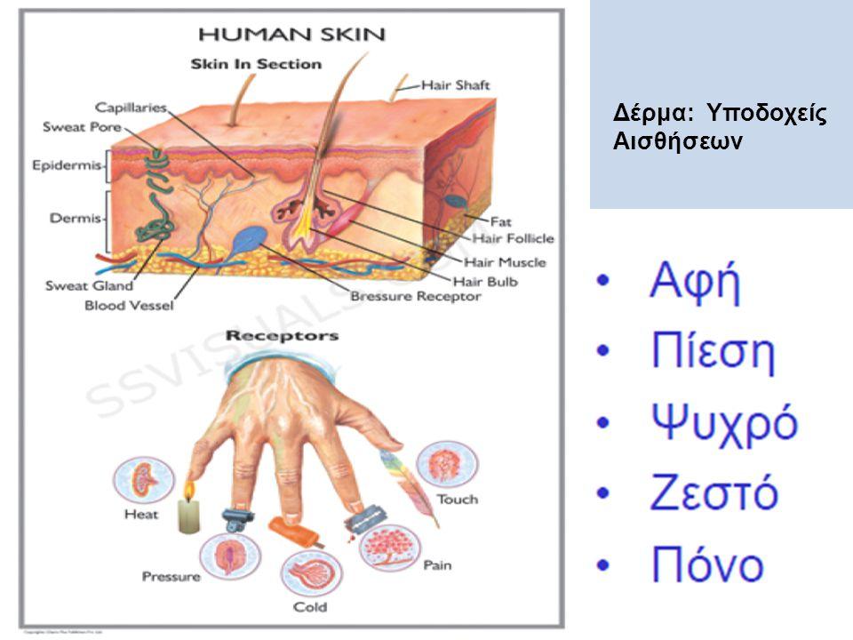 Δέρμα: Υποδοχείς Αισθήσεων