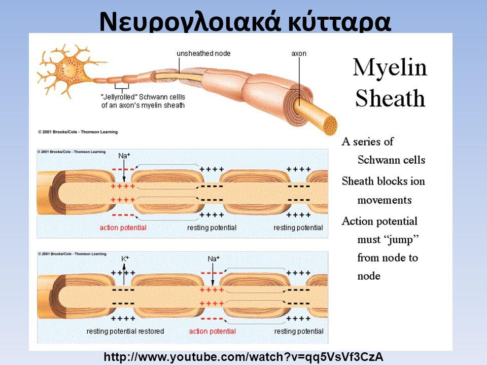 Νευρογλοιακά κύτταρα http://www.youtube.com/watch v=qq5VsVf3CzA