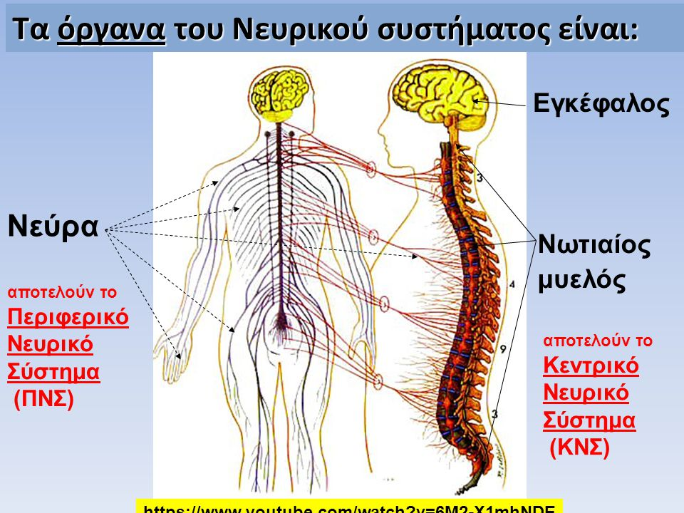 Τα όργανα του Νευρικού συστήματος είναι: