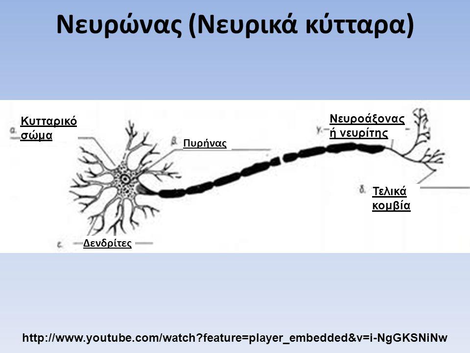 Νευρώνας (Νευρικά κύτταρα)