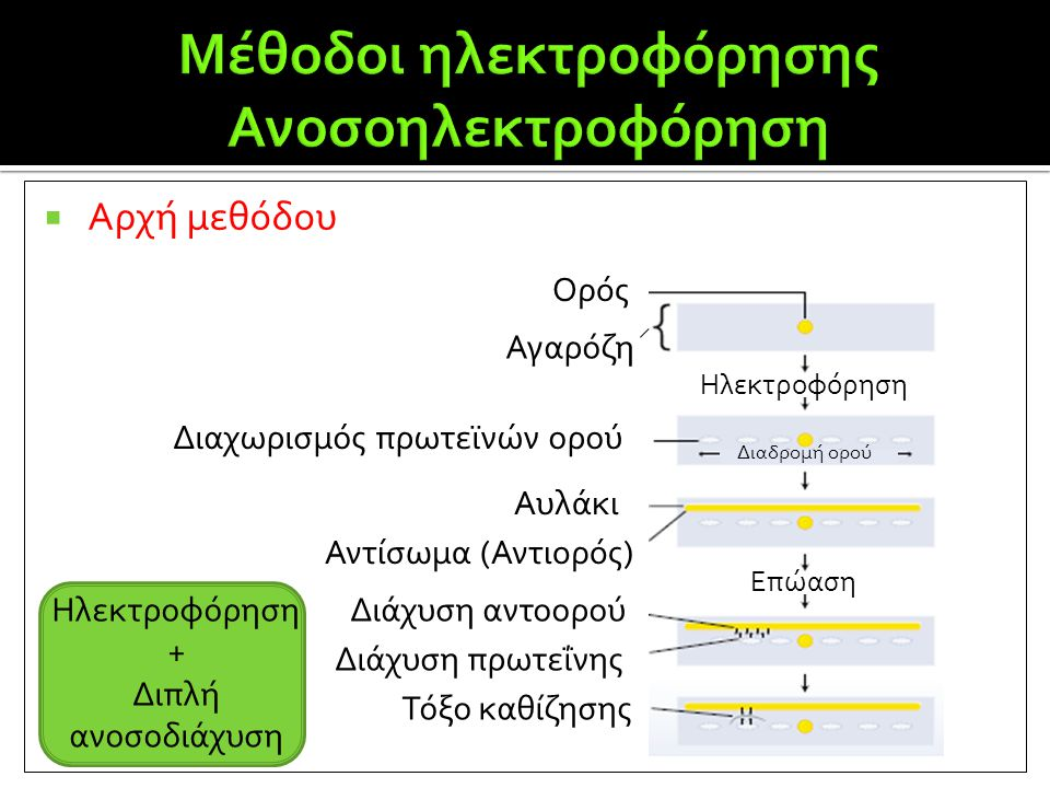 Μέθοδοι ηλεκτροφόρησης Ανοσοηλεκτροφόρηση