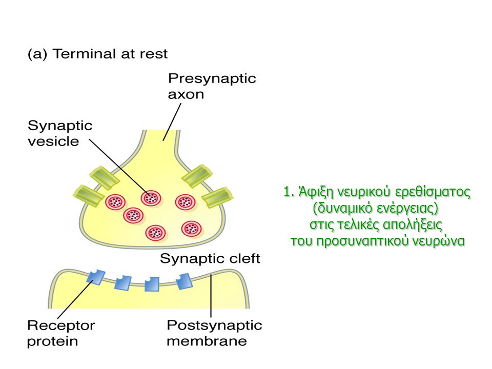 1. Άφιξη νευρικού ερεθίσματος (δυναμικό ενέργειας)
