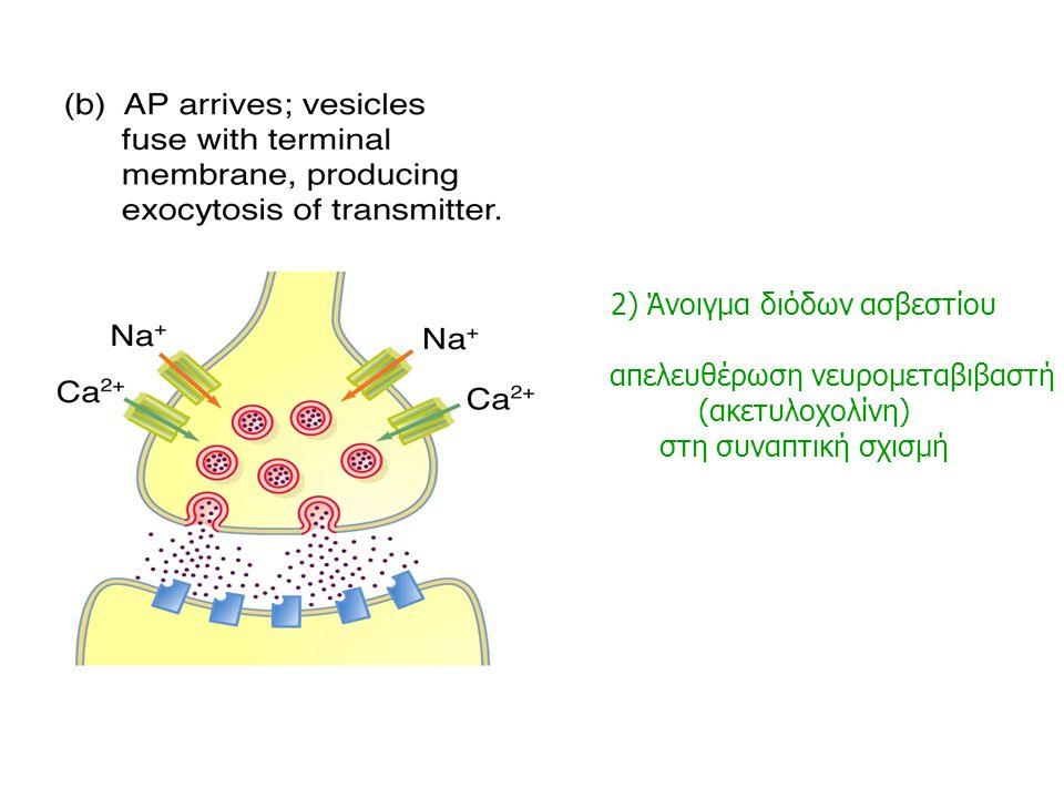 2) Άνοιγμα διόδων ασβεστίου απελευθέρωση νευρομεταβιβαστή
