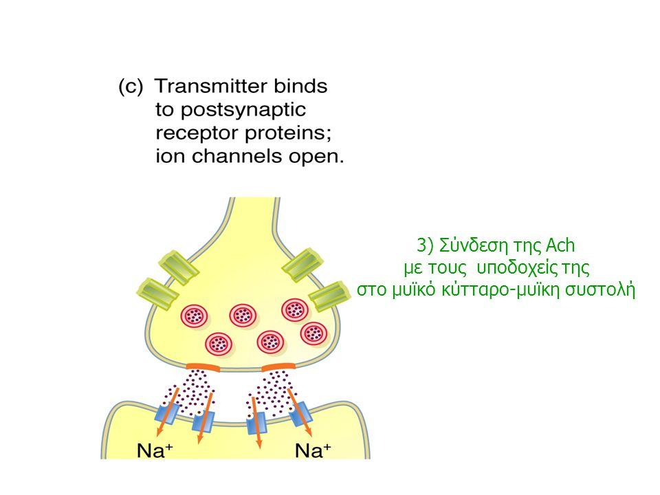 στο μυϊκό κύτταρο-μυϊκη συστολή