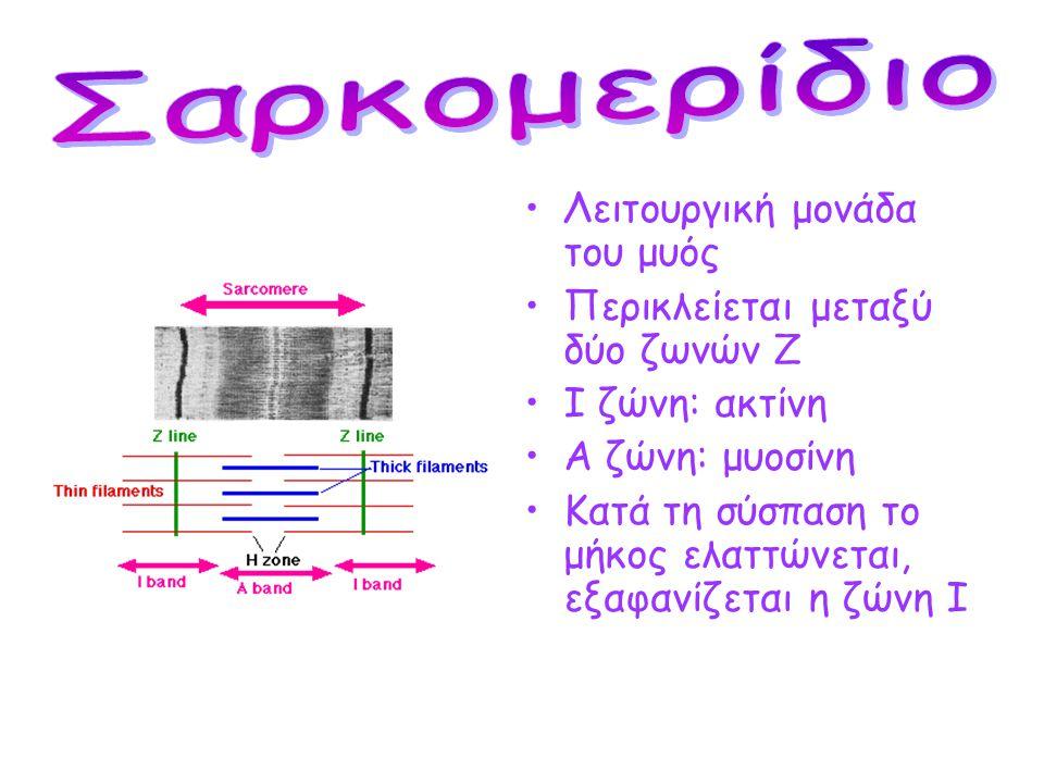 Σαρκομερίδιο Λειτουργική μονάδα του μυός