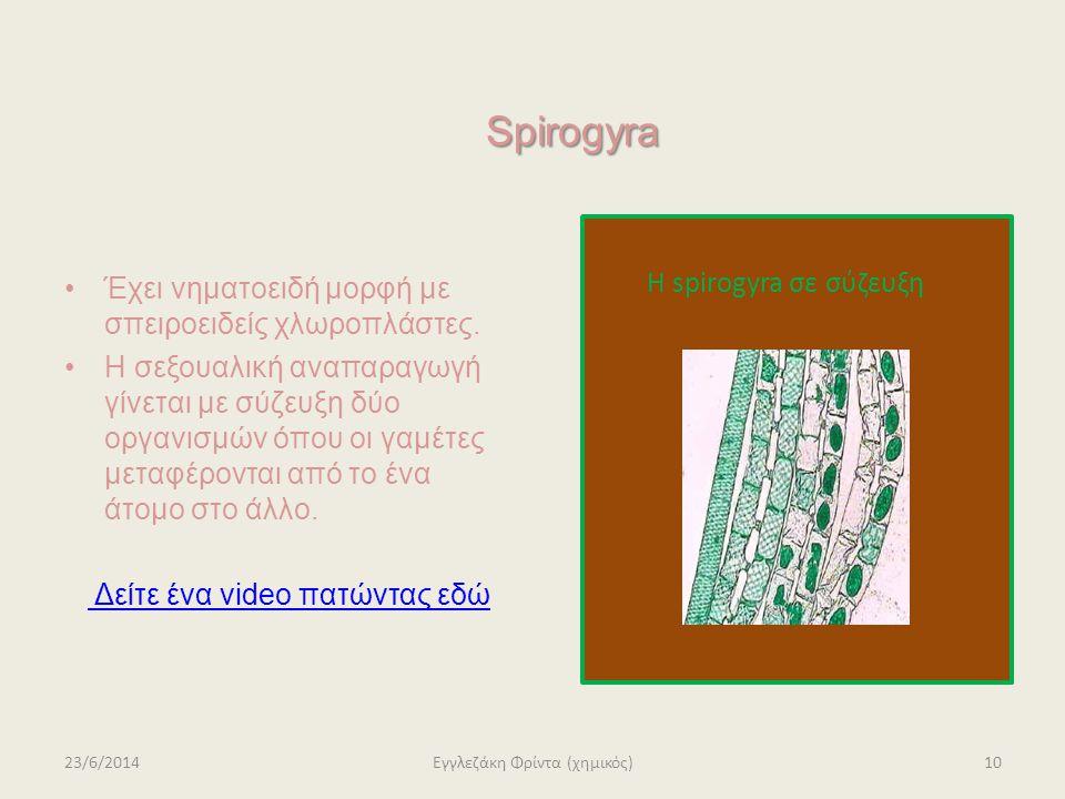 Spirogyra Έχει νηματοειδή μορφή με σπειροειδείς χλωροπλάστες.