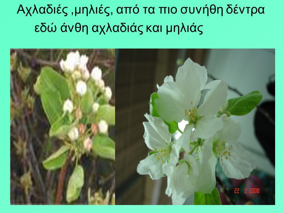 Αχλαδιές ,μηλιές, από τα πιο συνήθη δέντρα