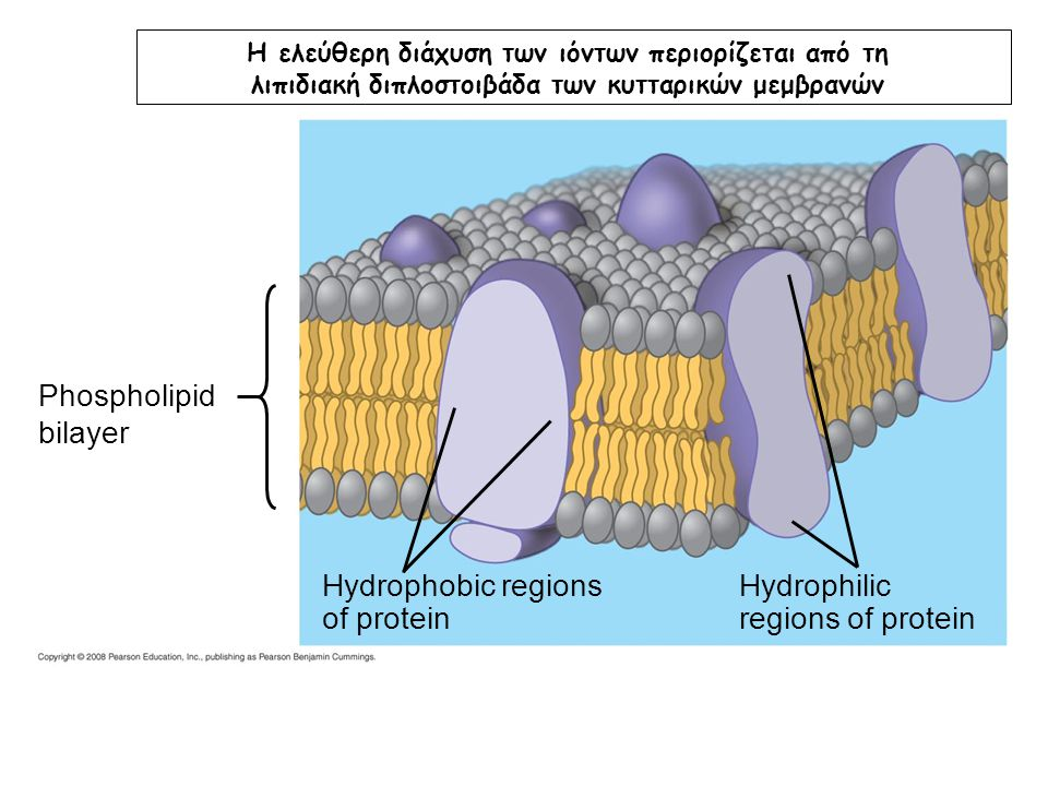 Phospholipid bilayer Hydrophobic regions of protein Hydrophilic