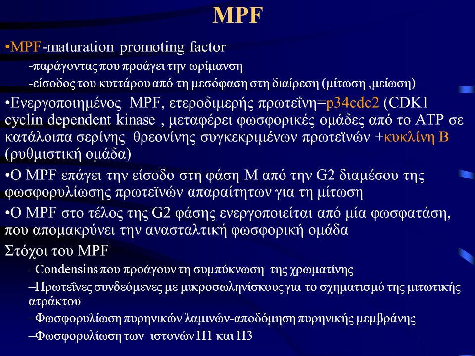 ΜPF MPF-maturation promoting factor