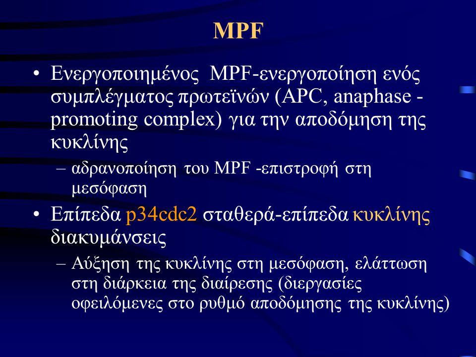 MPF Ενεργοποιημένος MPF-ενεργοποίηση ενός συμπλέγματος πρωτεϊνών (APC, anaphase -promoting complex) για την αποδόμηση της κυκλίνης.