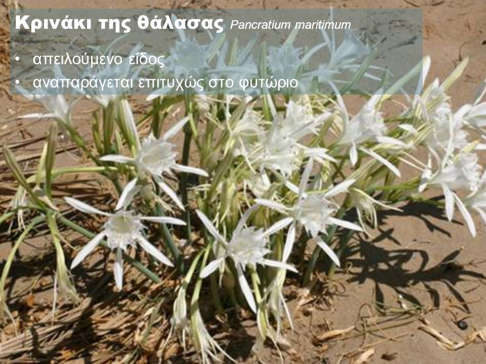 Κρινάκι της θάλασας Pancratium maritimum