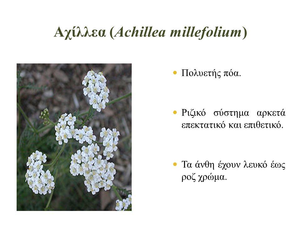 Αχίλλεα (Achillea millefolium)