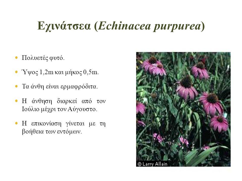 Εχινάτσεα (Echinacea purpurea)