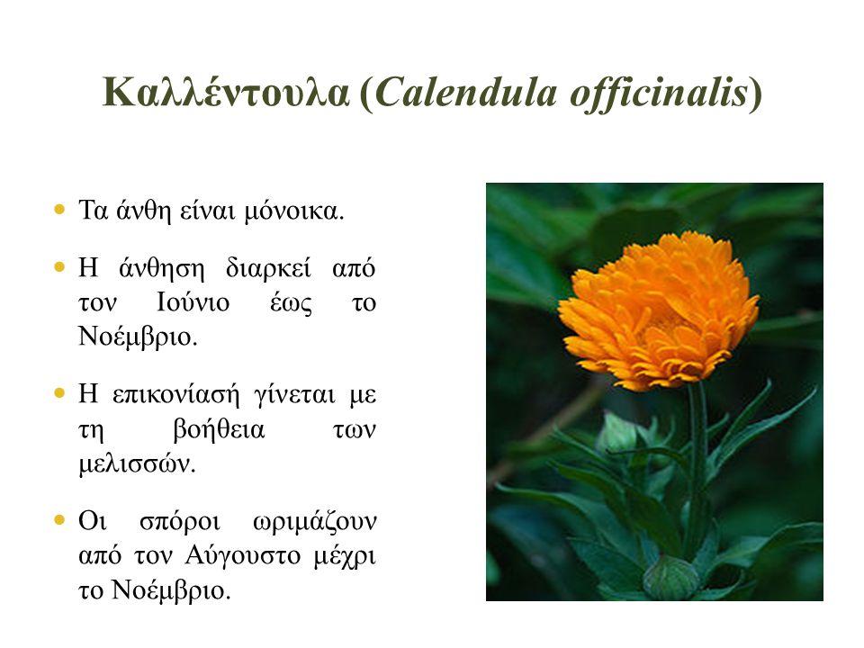 Καλλέντουλα (Calendula officinalis)