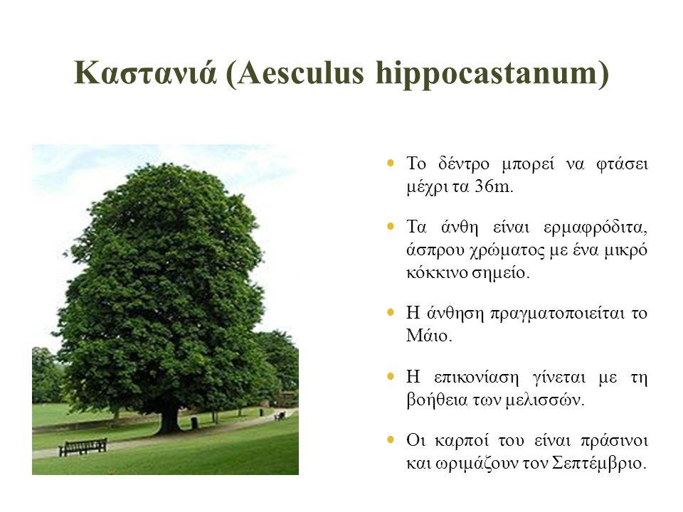 Καστανιά (Aesculus hippocastanum)