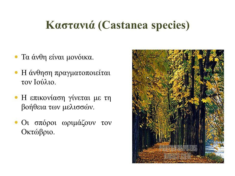 Καστανιά (Castanea species)
