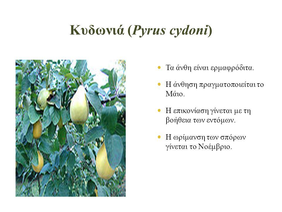 Κυδωνιά (Pyrus cydoni)