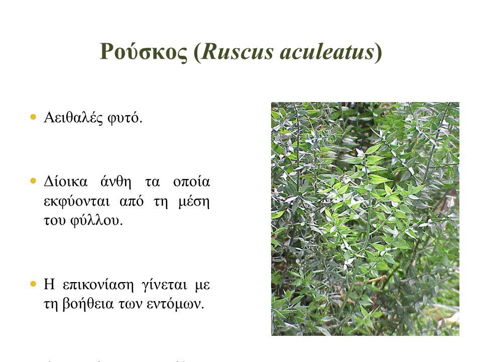 Ρούσκος (Ruscus aculeatus)